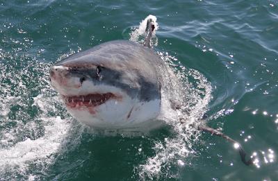 California: squalo di due metri azzanna un ragazzo di 13 anni