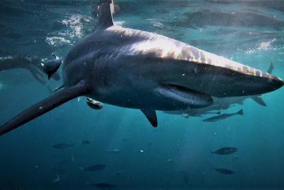 Ucciso da uno squalo
