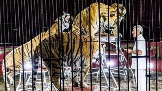 Domatore ucciso da tigri: è ora che decida della sorte di questi animali