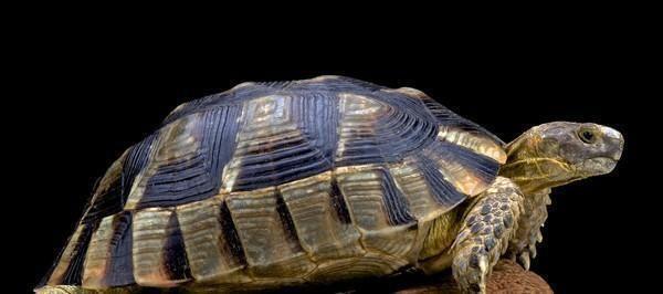Porta a spasso tartaruga, multata una donna a Roma