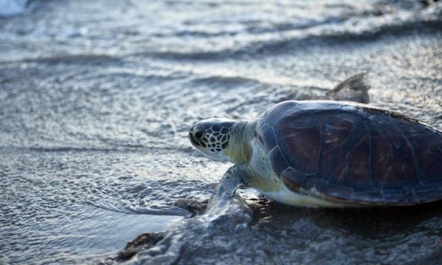 Una tartaruga ha deposto le uova nel Salento durante una festa in spiaggia