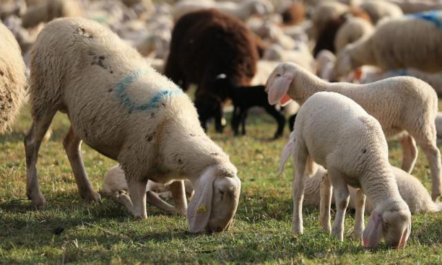 Arriva dalla Sardegna il 70% del latte ovino prodotto in Italia