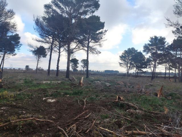 Altamura: tagliati 30 alberi di pino
