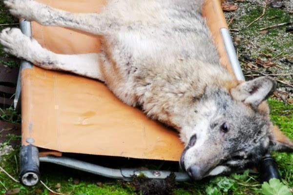 Per le strade a caccia di cibo, catturato un lupo a Potenza