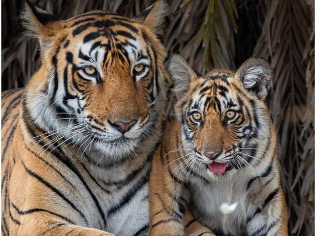 Due tigri fuggono da uno zoo in Indonesia, una è stata abbattuta
