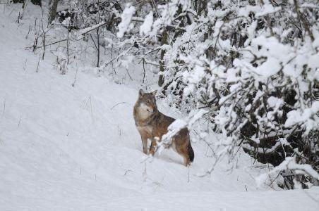 Fauna selvatica. La Pietra (FdI): approvata risoluzione sui danni provocati alle colture dalla fauna selvatica
