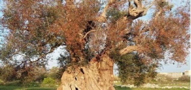 Coldiretti – Xylella, bene la richiesta di calamità a Taranto