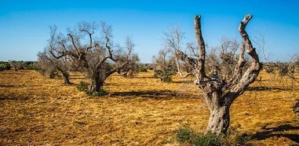 """Il WWF plaude alla Regione Puglia sulla lotta alla Xylella: """"fa la scelta giusta"""""""