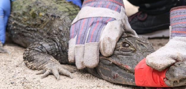 """""""Vendo alligatore"""", l'offerta choc su un sito di annunci online di oggetti usati"""