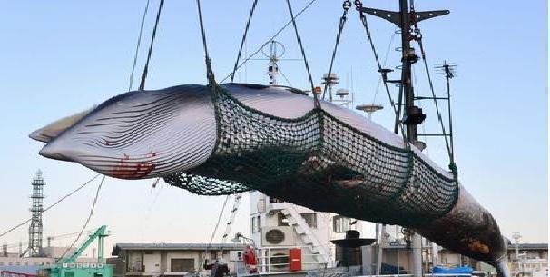 Caccia alle balene per 2 gocce di profumo: incredibile ma vero