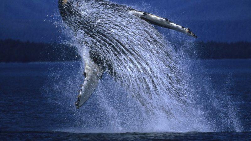 Riemergonoa Matera i resti della balena Giuliana, gigante del Pleistocene