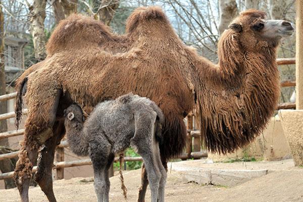 Una cammellina e due pinguini, nuove nascite nel Bioparco di Roma
