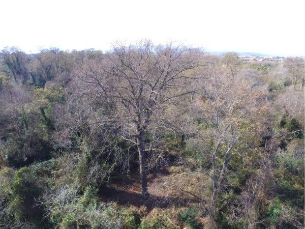La grande quercia di Bosco Pantano nell'elenco degli alberi monumentali d'Italia