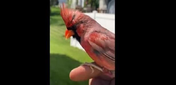 Italiano a Chicago, un legame straordinario con un bellissimo uccello selvatico