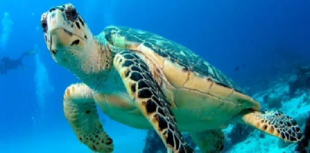 Trovata plastica nei muscoli di tartarughe marine