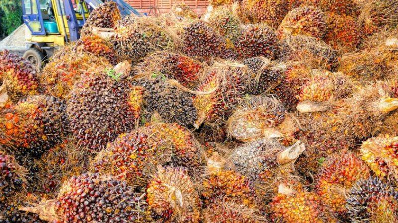 Lo Sri Lanka eliminerà le piantagioni di Olio di palma e fermerà le importazioni, decisione storica