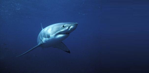 I pescatori di Monopoli confermano il loro impegno per la tutela degli squali