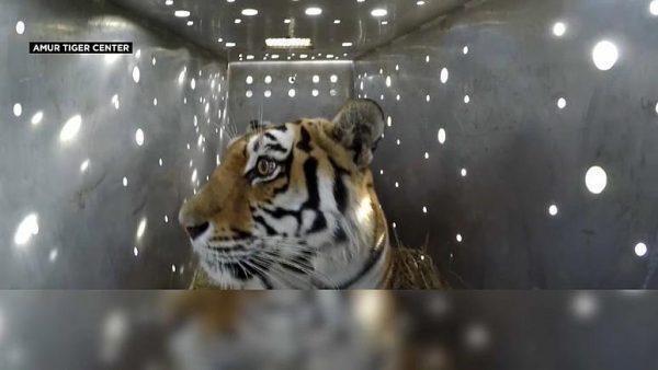 Tigre depressa per la perdita dei cuccioli, attacca un villaggio russo